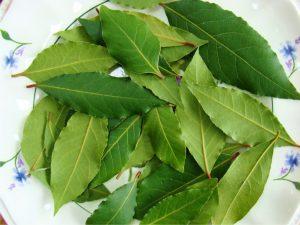 свежие листья лавра