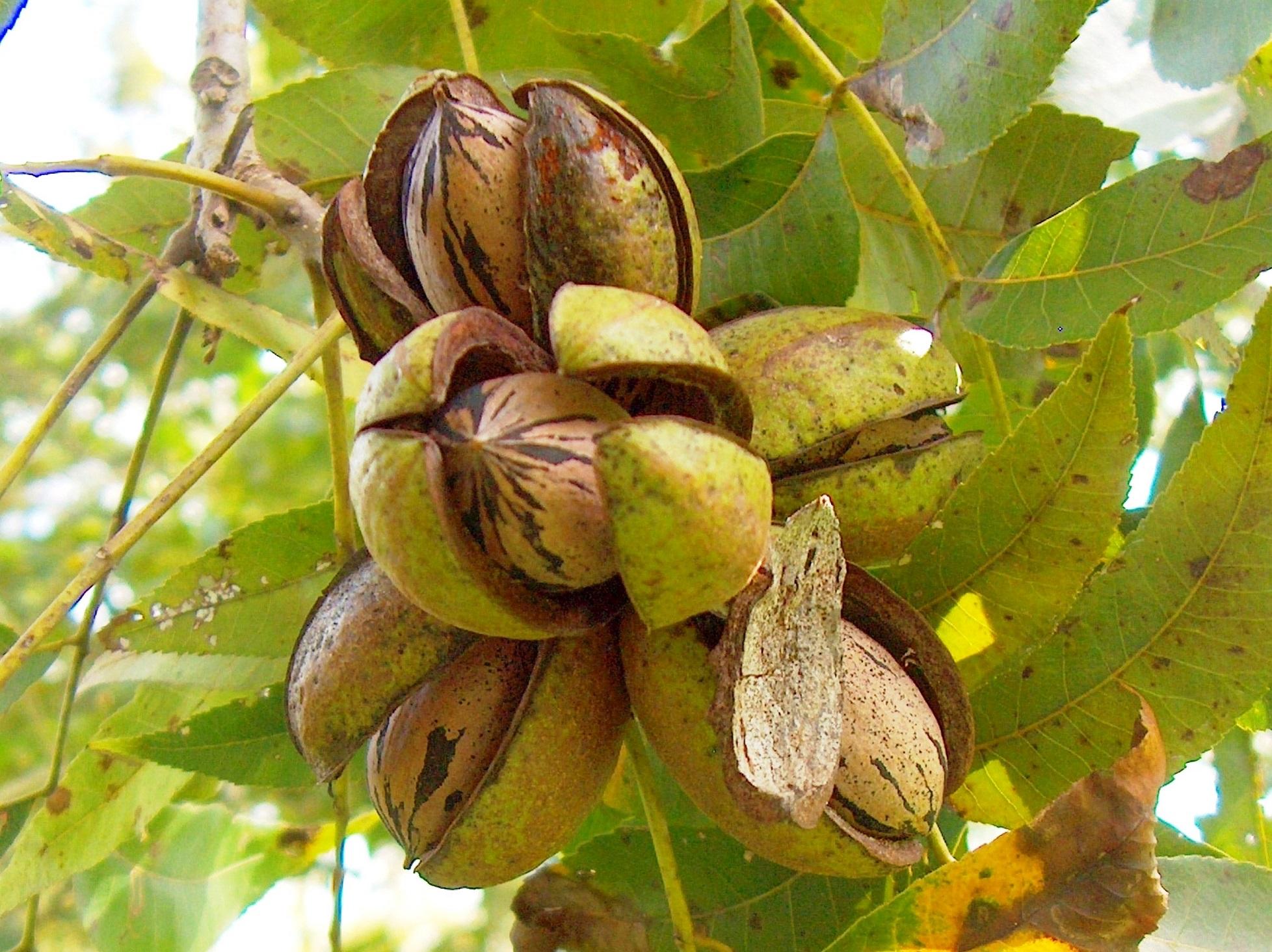 орехи пекан на дереве