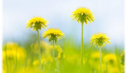 Одуванчик для лица: природное средство для твоей красоты!